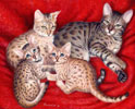 Bengal Cats - Cat  Gallery